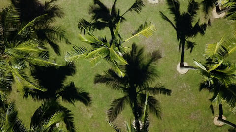 Tranquil coconut palm tree growing in rows tropical tourism background Footage