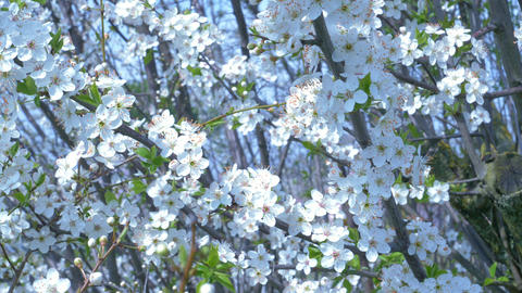 White Cherry Tree Flowers Footage