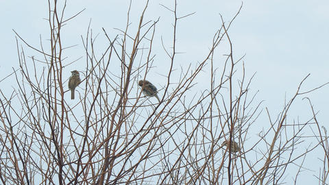 Sparrows sit on the bare branches Archivo