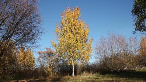 Single birch tree in a park Footage