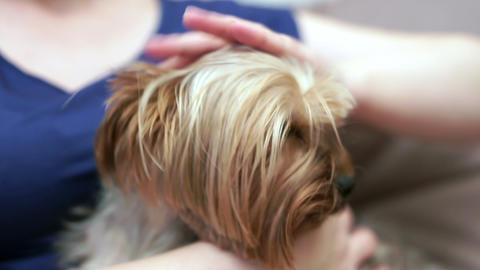 Close-up of female hands soothe and stroke the Yorkshire terrier Live Action