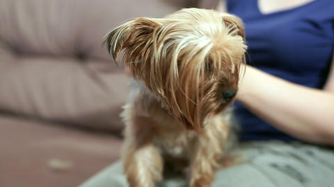 Female hands closeup comb the hair of the Yorkshire terrier Footage