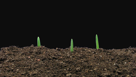 Time-lapse of growing onion sprouts in RGB + ALPHA matte format GIF