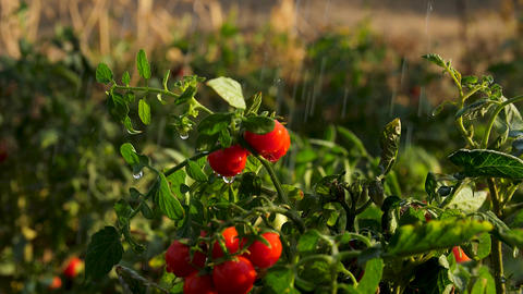 Fresh tomatoes on a bush in the water drops Slow motion GIF