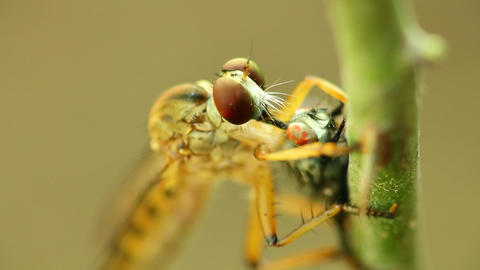 Robber Fly Feeding On A Fly Macro Close Up Footage