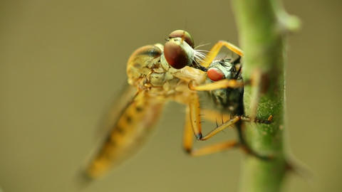 Robber Fly Feeding On A Fly Macro Close Up Detail Footage