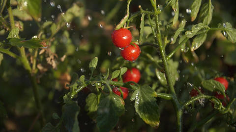 Water drops fall the tomatoes bush with a berries Slow motion Live Action