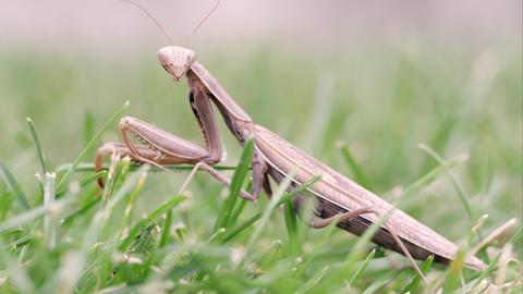 Praying mantis moving out of focus Footage