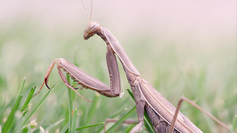 Praying mantis in grass brushed by a finger Footage