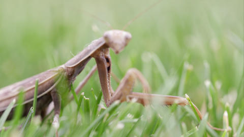 Praying mantis crawling out of focus in the grass Footage