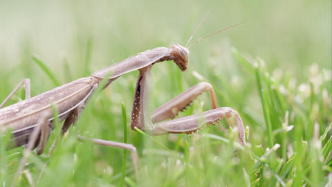 Praying mantis crawling out of frame Footage