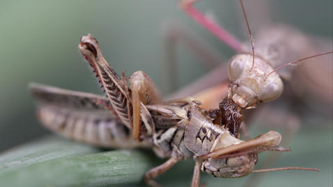 Tight shot of a praying mantis crawling out of frame Footage