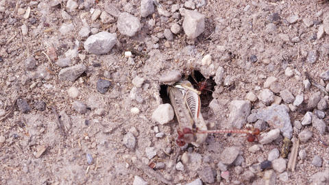 Fire ants pulling a grasshopper into tunnel Footage