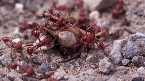 Swarm of fire ants attacking grasshopper Footage