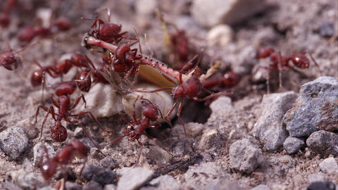 Many fire ants attacking grasshopper Footage