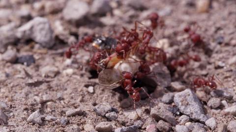 Dozen fire ants swarming a grasshopper Footage