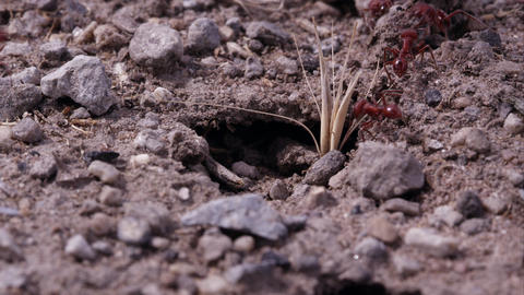 Fire ants moving in and out of tunnel Footage