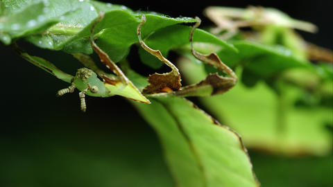 Macro shot with shallow depth of field of two Giant Leaf Insects on leaves Footage