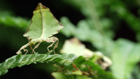 Tight shot of field of two Giant Leaf Insects shaking on a leaf Footage