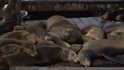 Pile of Sea lions sleeping on the pier Footage