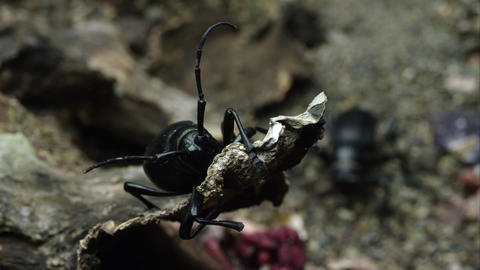 A cactus longhorn beetle on a piece of bark, as another crawls by Footage