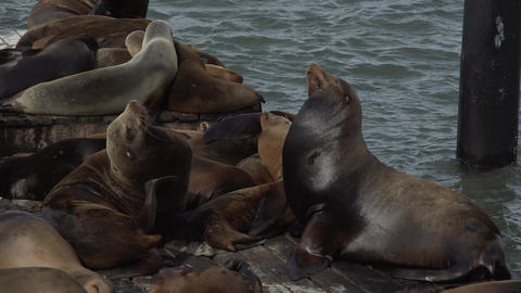 Sea lions sunning on the pier Footage