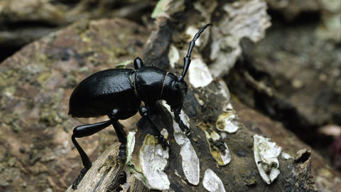A cactus longhorn beetle crawling over a piece of bark Footage