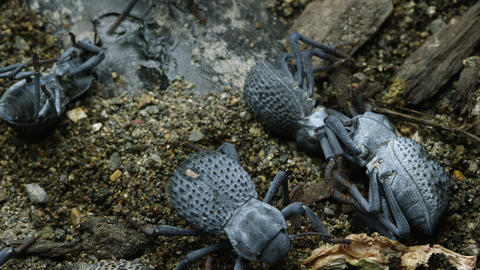 Half a dozen Blue Death Feigning Beetles, two of which are feigning death Footage
