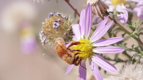 Honey bee falls off clover flower Footage