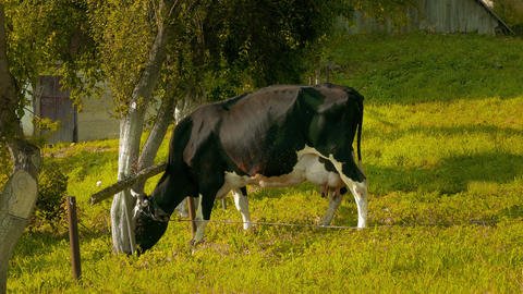 1080p Cow Eating Grass Footage