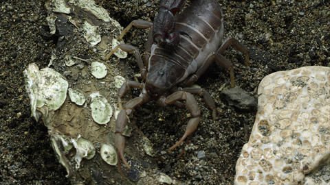 Transvaal Fat-tailed Scorpion on the ground Footage