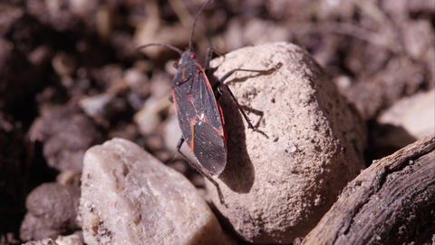 Box elder bug crawling around Live Action