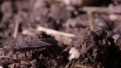 Box elder bug crawls around on dirt Footage