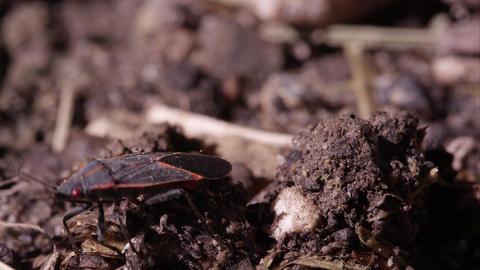 Box elder bug crawls around on dirt Footage