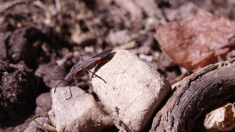 Box elder bug crawls off rock Footage