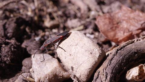 Box elder bug crawls off rock Footage