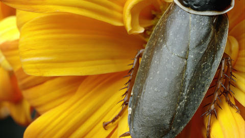 Simandoa cave roach on a yellow flower Footage