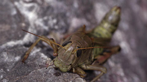 Macro shot of a grasshopper Footage