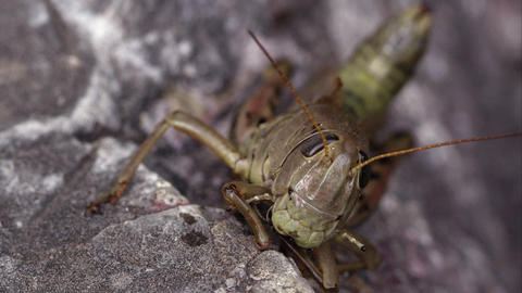 Macro shot of a grasshopper, and an ant crawling in the background Footage