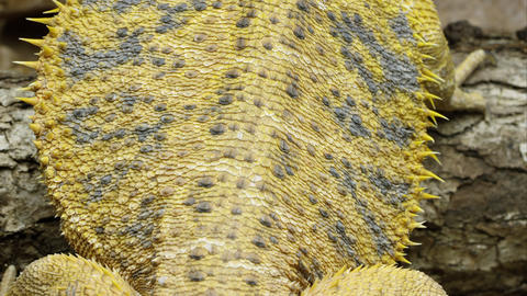Tight shot of a Yellow Bearded Dragon lizard's back Footage