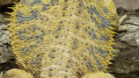 Tight tilting down shot of a Yellow Bearded Dragon lizard's back Footage