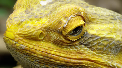 Extreme tight shot of a Yellow Bearded Dragon lizard's head Footage