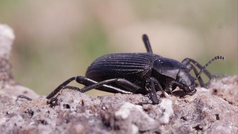 Macro shot of black ground beetle on dirt Footage