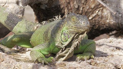 Green iguana lying in the sun Footage