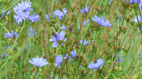 Blue flowers on natural background. Flowers of wild chicory endive Live Action