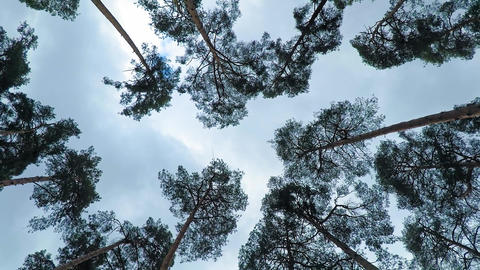 Old pine trees (pinery) sway in wind against sky. Trunks of trees swaying Live Action