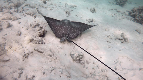 Coral Reef With Spotted Eagle Ray Swimming In Maldives Ocean Footage