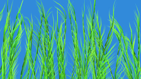 Kelp, sea weed, tall grases. Isolated on Solid blue background . Thin clusters . 3d animation CG動画