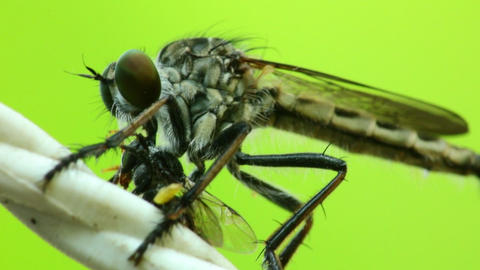 Robber Fly Sucking Fluids Out Of A Dead Fly HD Footage