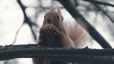 slow motion - red squirrel eating in slow motion and sitting on the branch Live Action